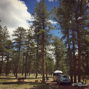 Wonderful mature Ponderosa Pines, Colorado CG.